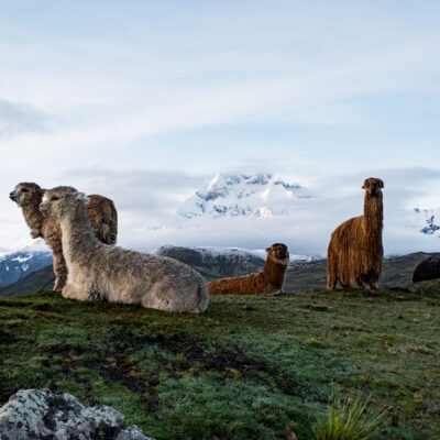 Alpacas in the Peruvian Andes near the town Ocongate