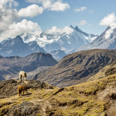 A view of the Andes and alpaca gazing in Lares region